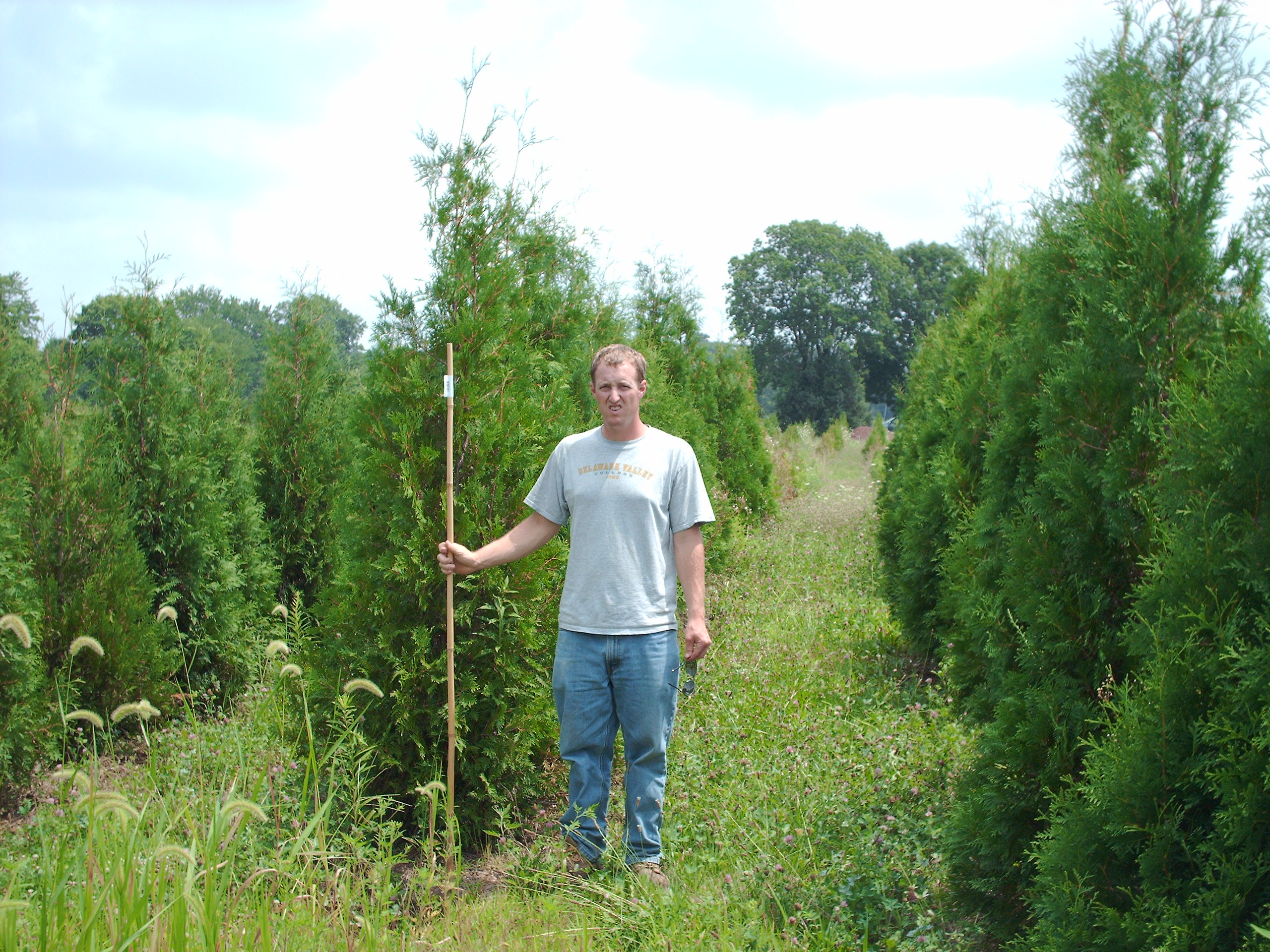 Thuja American in Field
