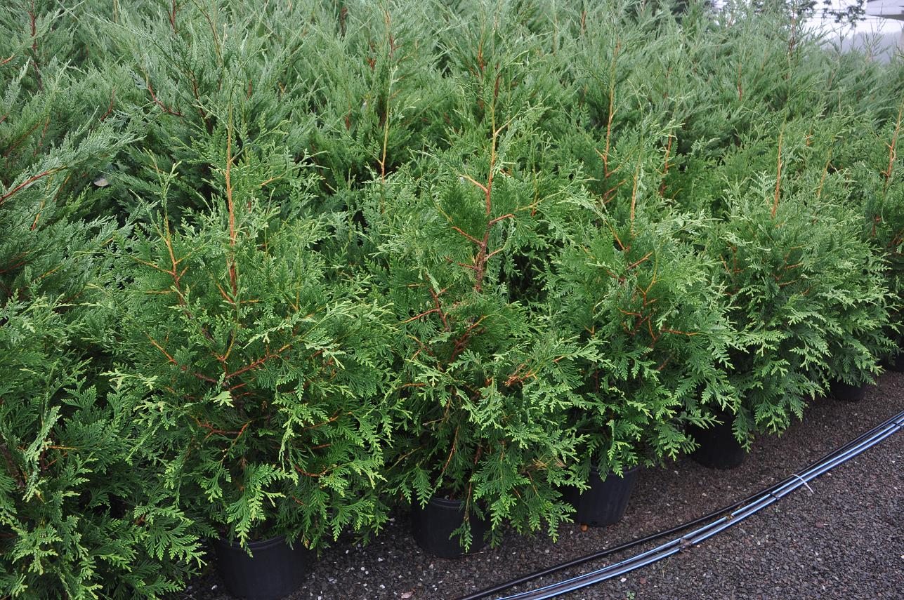 3-4 ft Green Giant Arborvitae Trees