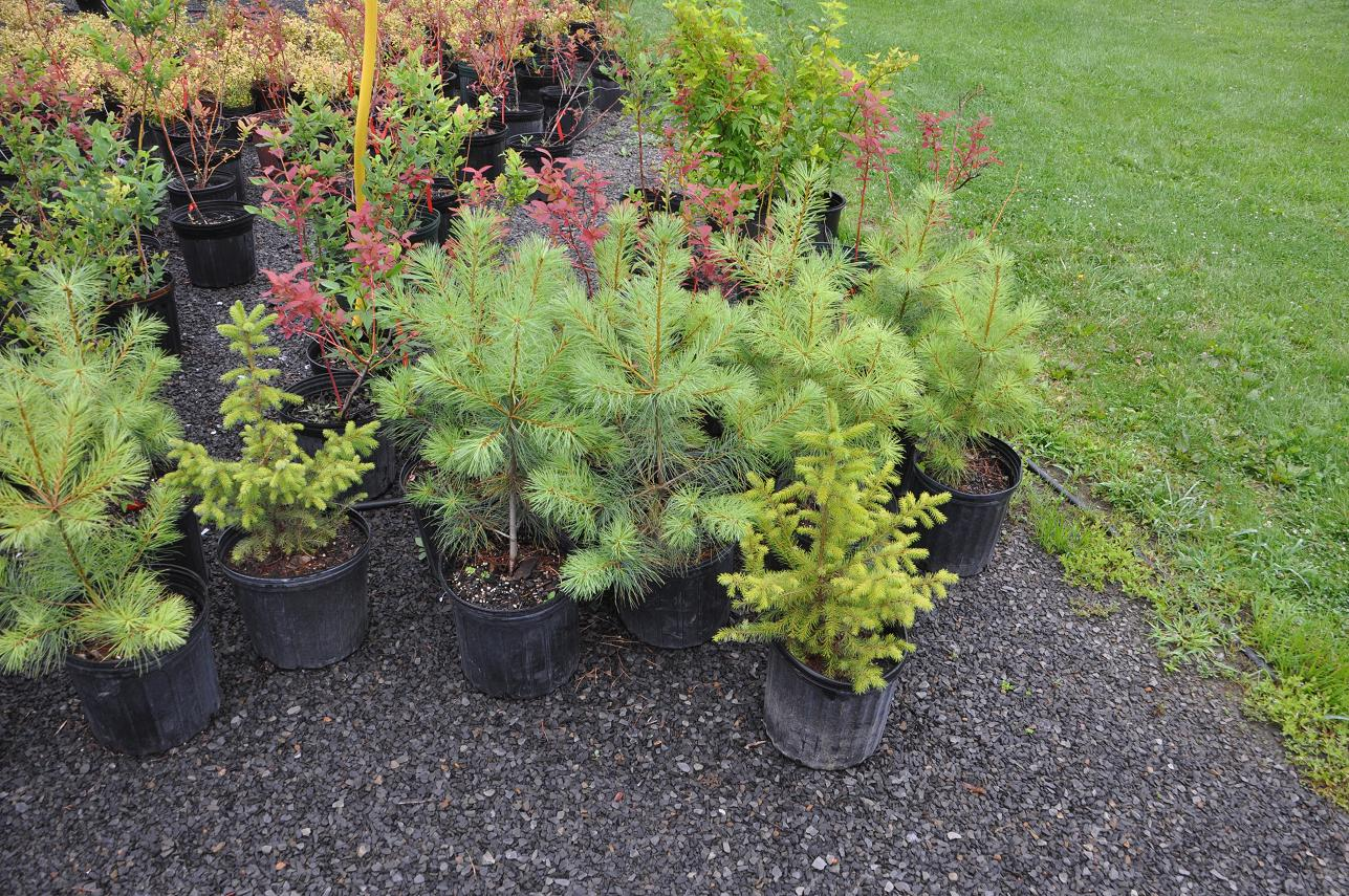 3 gal White Pine and Spruce Trees