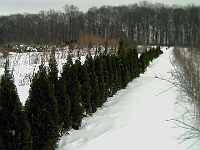 All arborvitae and plants must be sold as we are selling off 150 acres and must clean out the fields before the dozers arrive!
