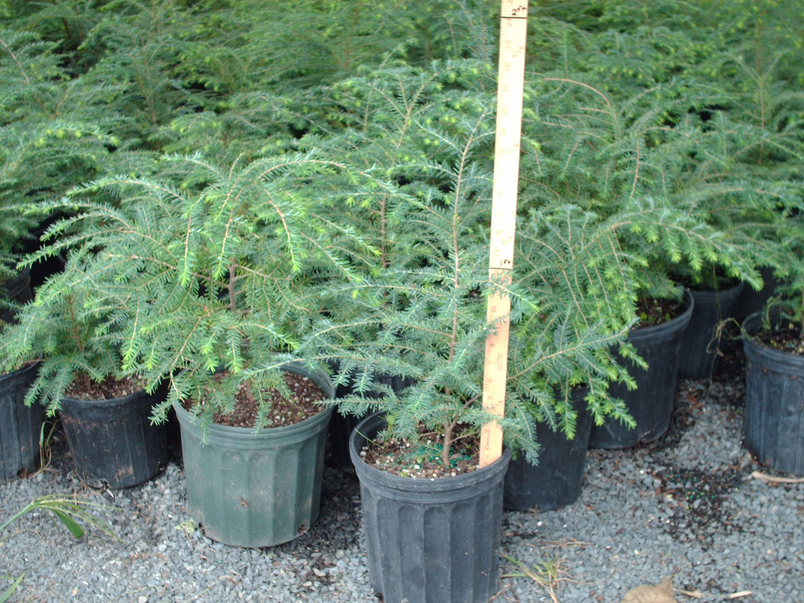 Hemlock Shrubs