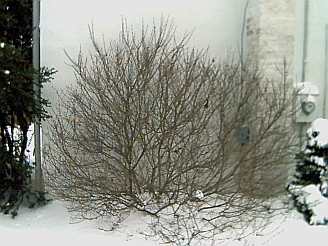 Full sized French Lilac in winter