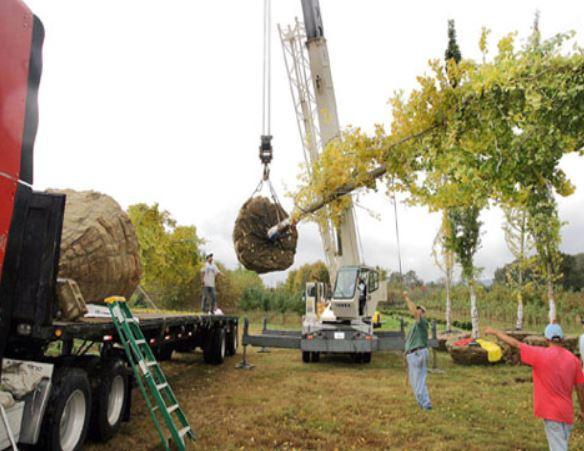 We sell large Ginkgo Trees...