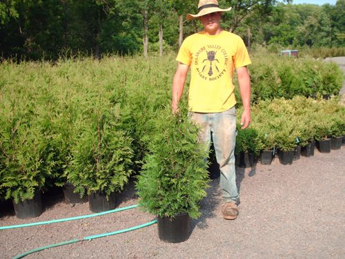 Our Most Popular Arborvitae the Green Giant