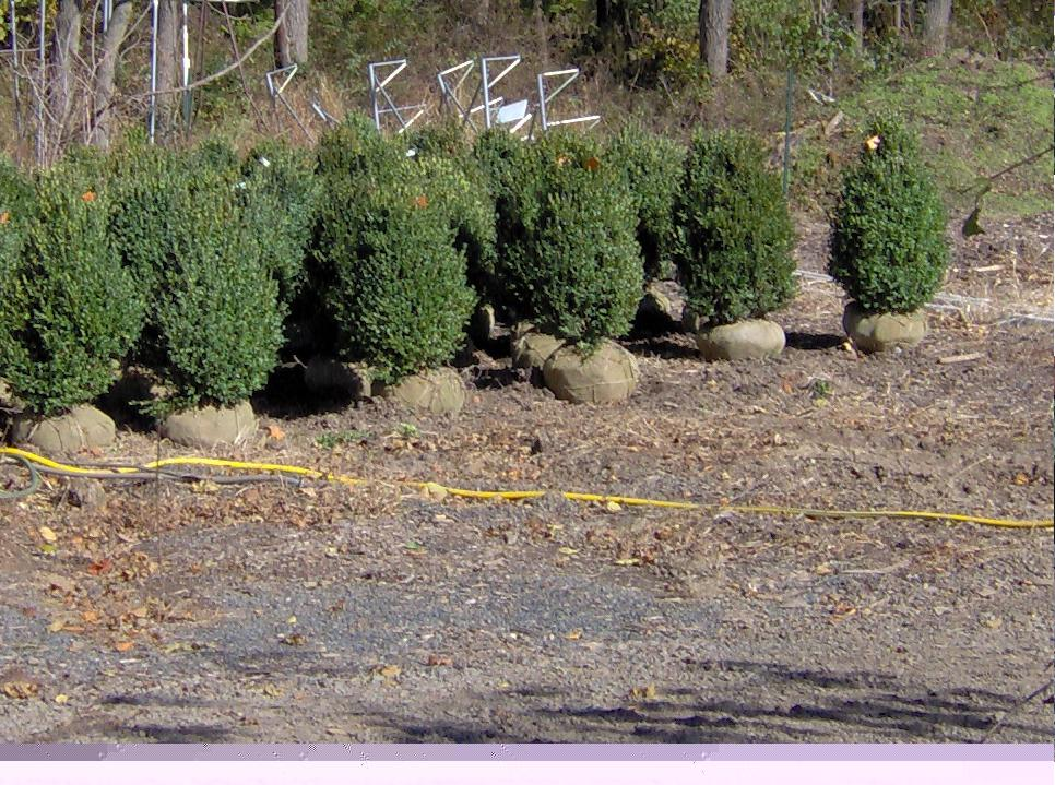 Deer Resistant Green Mountain Boxwoods for Sale or Trade