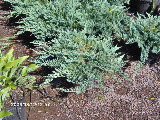 Potted Blue Rug Junipers Ready for sale or Trade