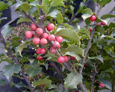 Blue Princess Holly 