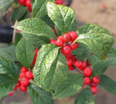 Ilex Verticillata Sparkleberry one of the best berry producing hollies, easy to raise, with great winter interest. 