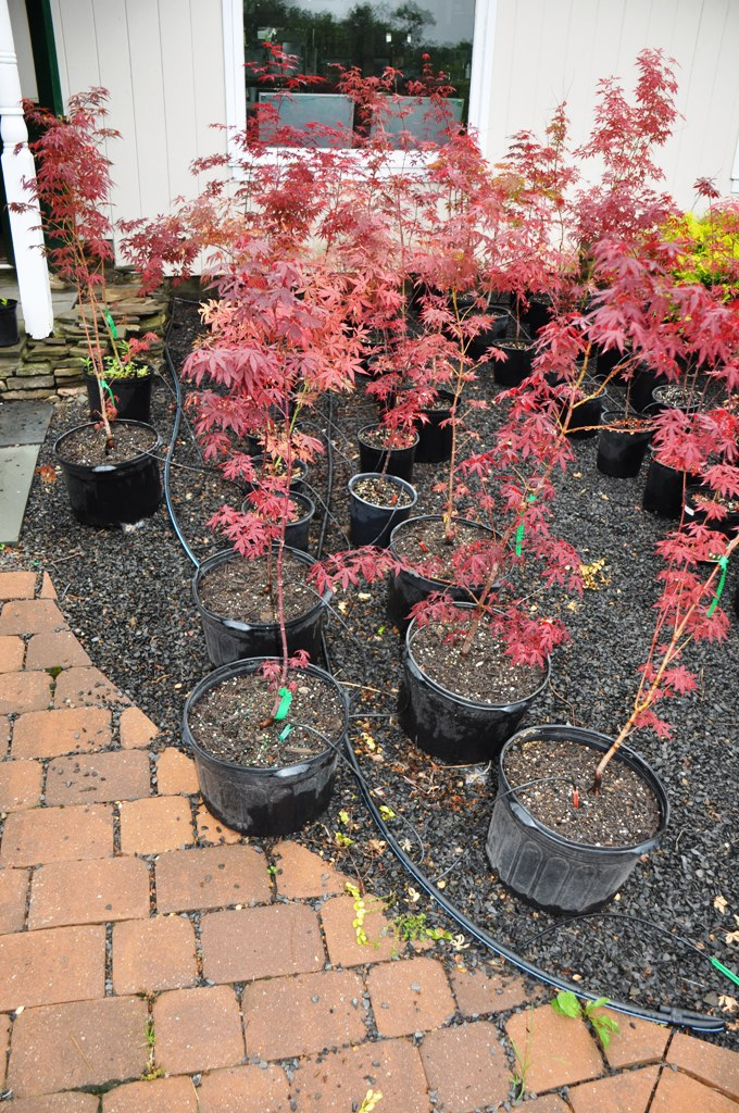 Our Cheap Japanese Red Maples