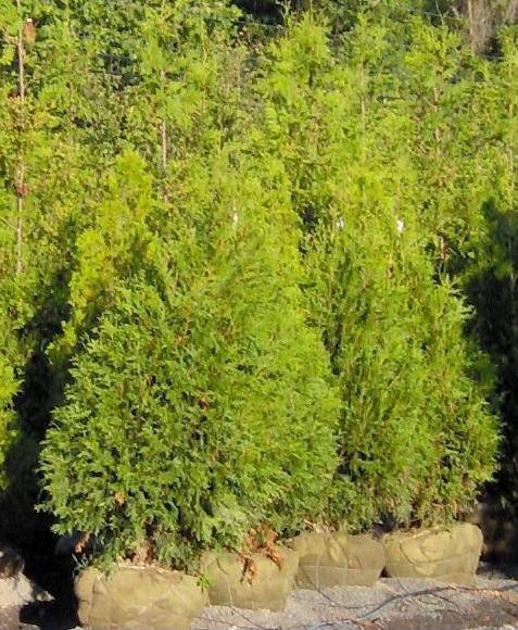 6' Green Giant arborvitae