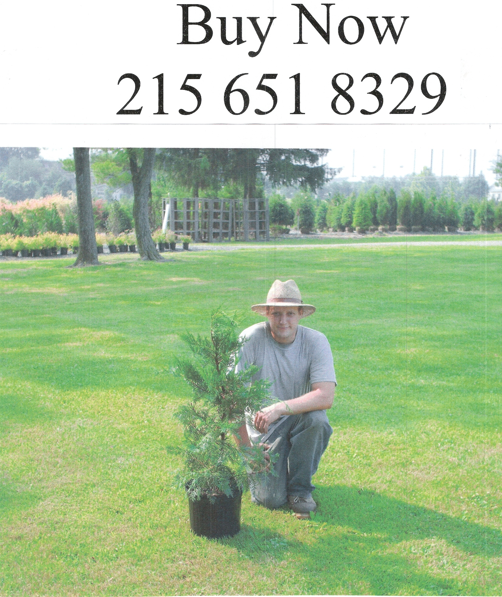 Leyland Cypress 3 ft tall  Buy These NOW!!!!