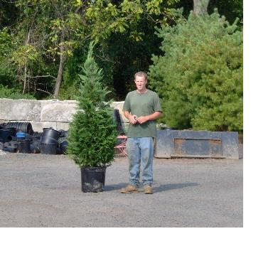 Leyland Cypress sample 6 ft. plant