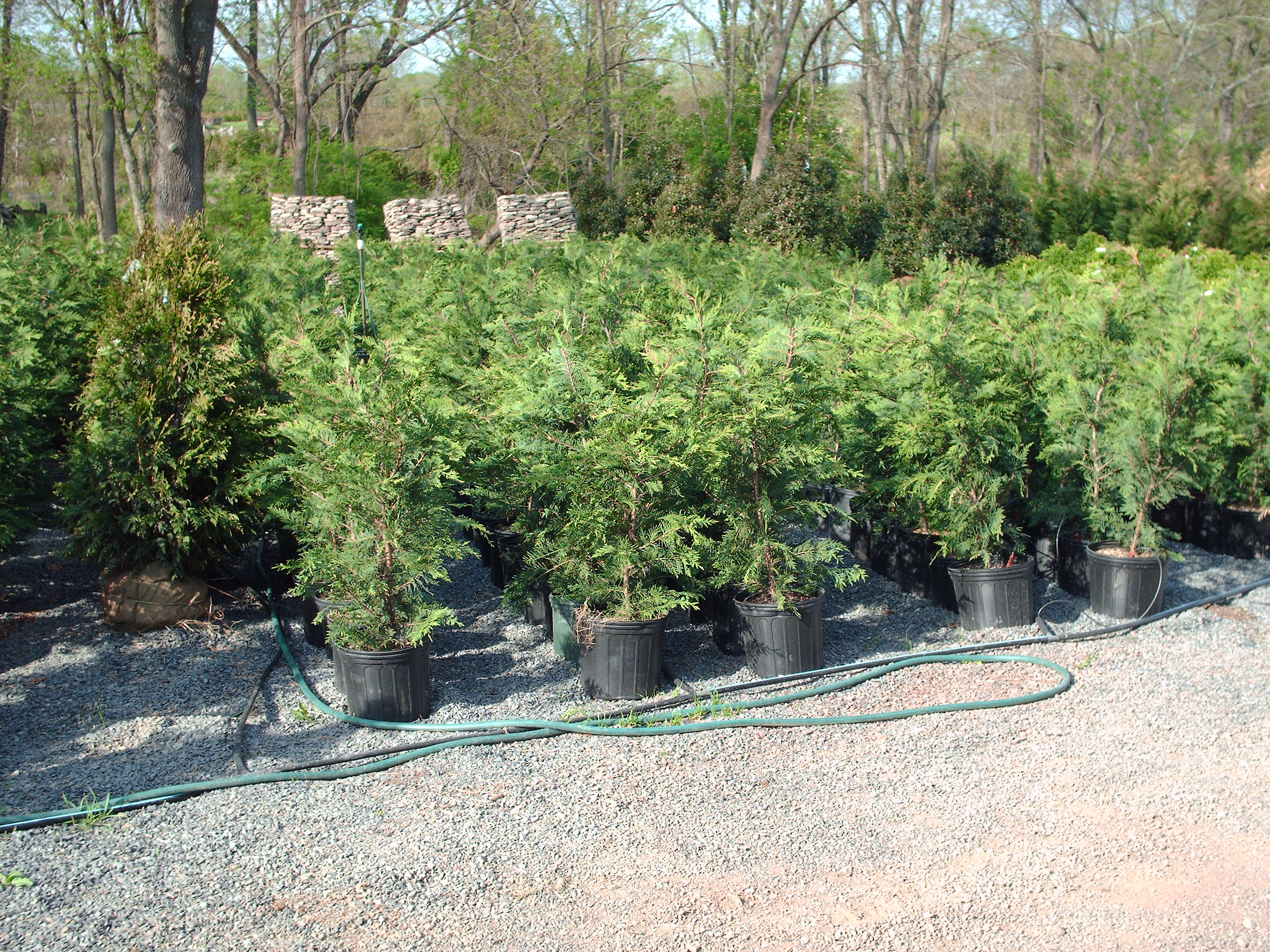 Our 3-4 ft tall Leyland Cypress Liner