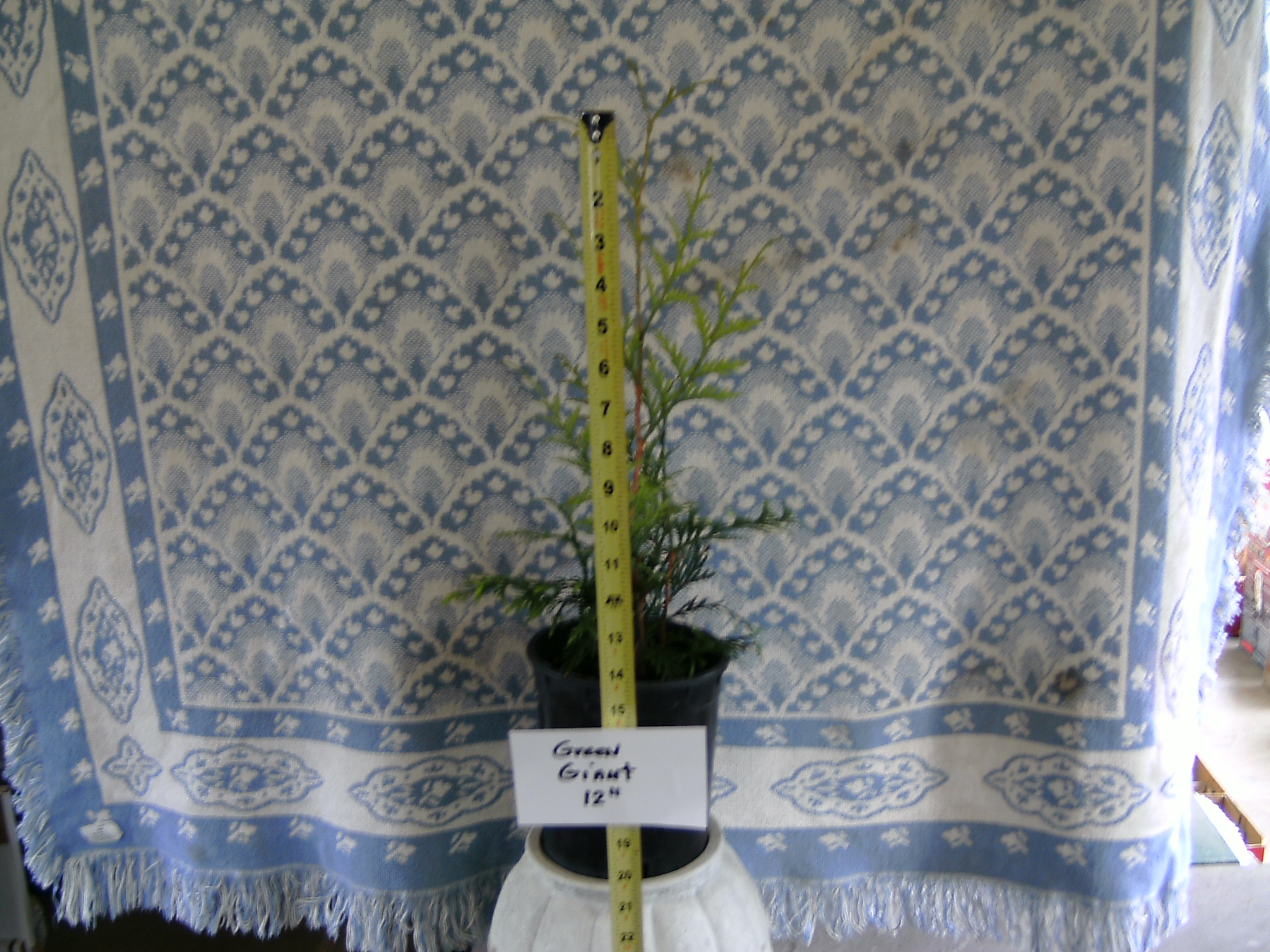 Our 12 inch tall Green Giant Arborvitae Liner