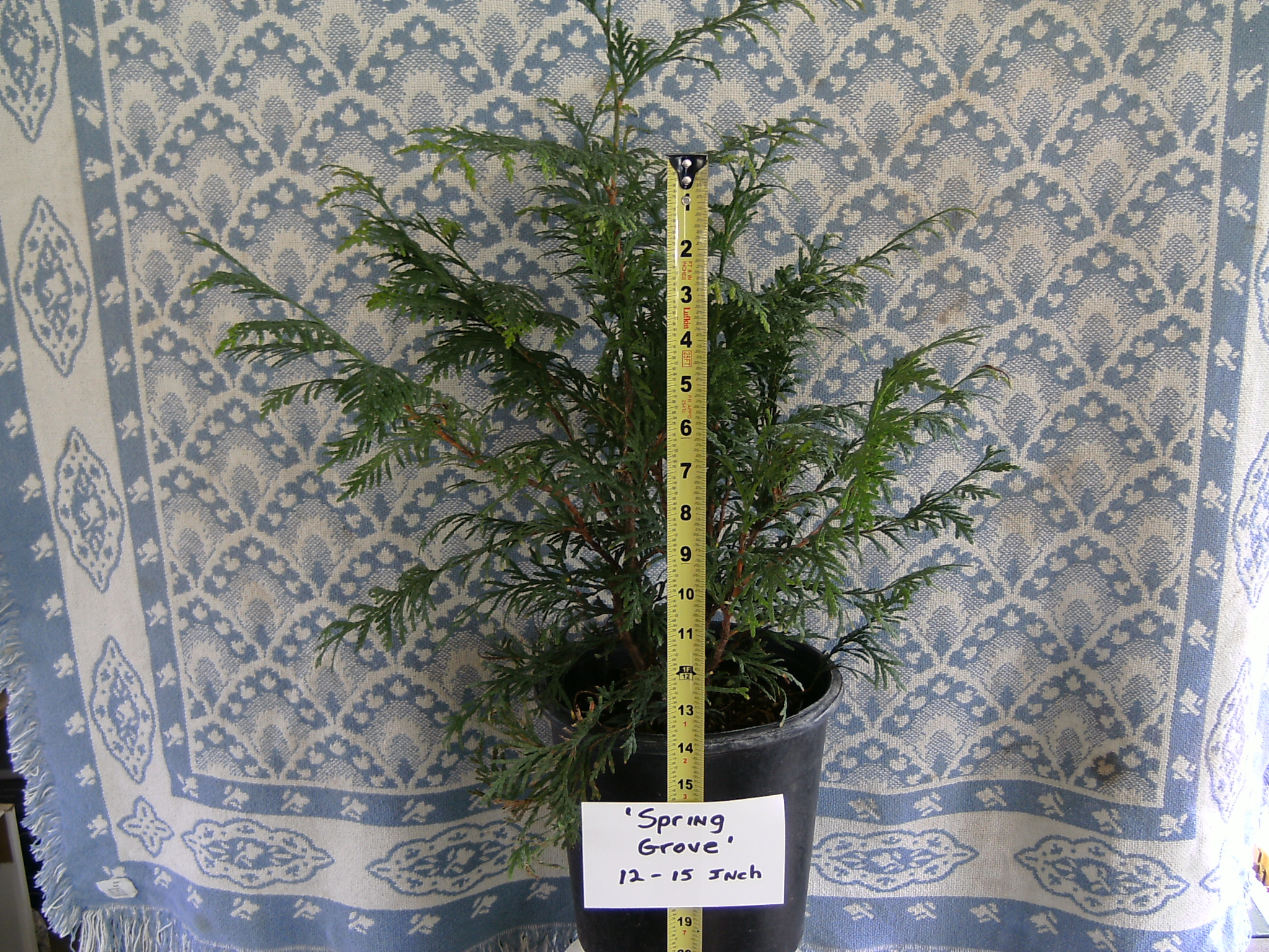 Our 12-15 inch tall Spring Grove Arborvitae Liner
