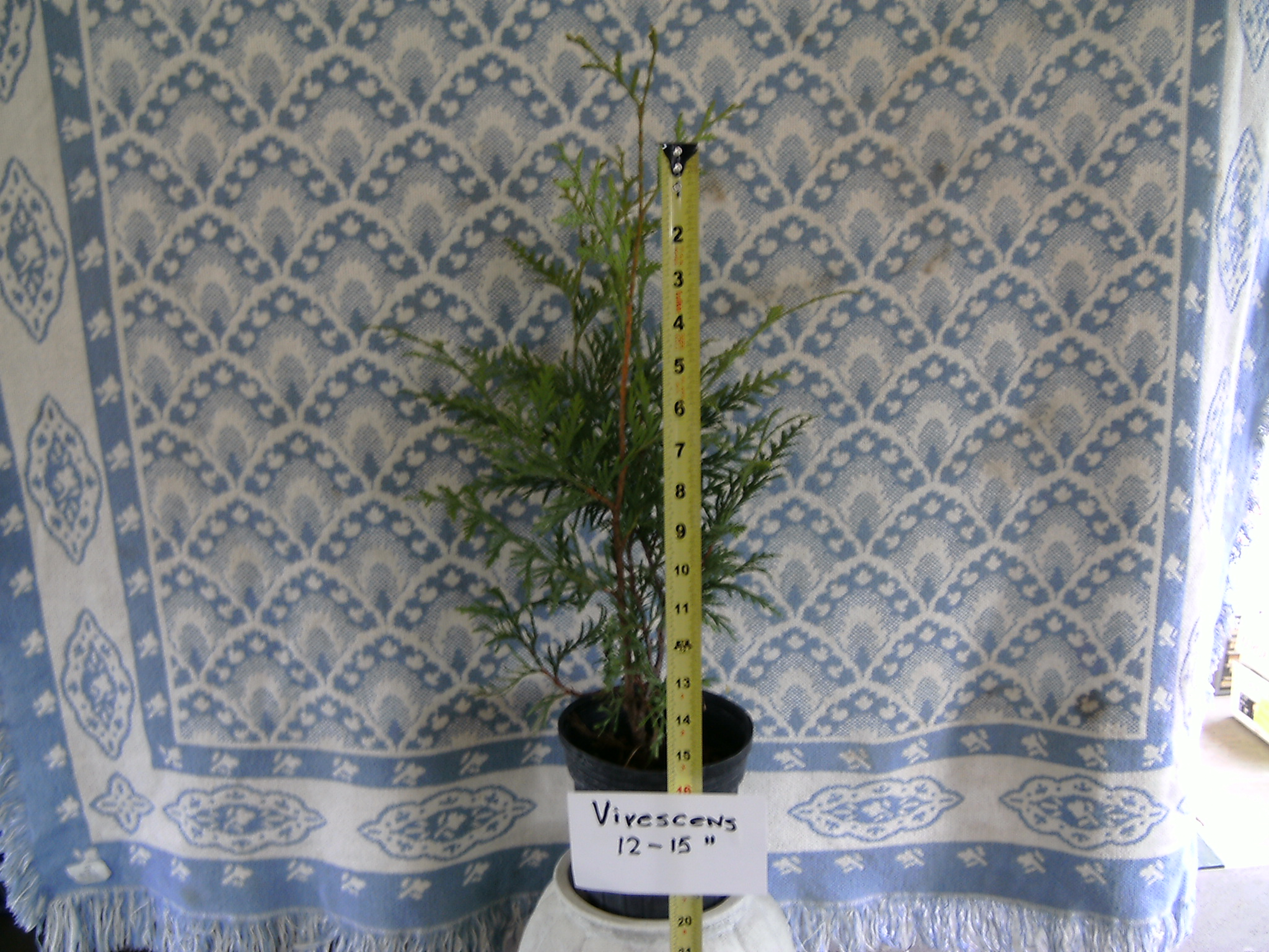 Our 12-15 inch tall Virescens Arborvitae Liner