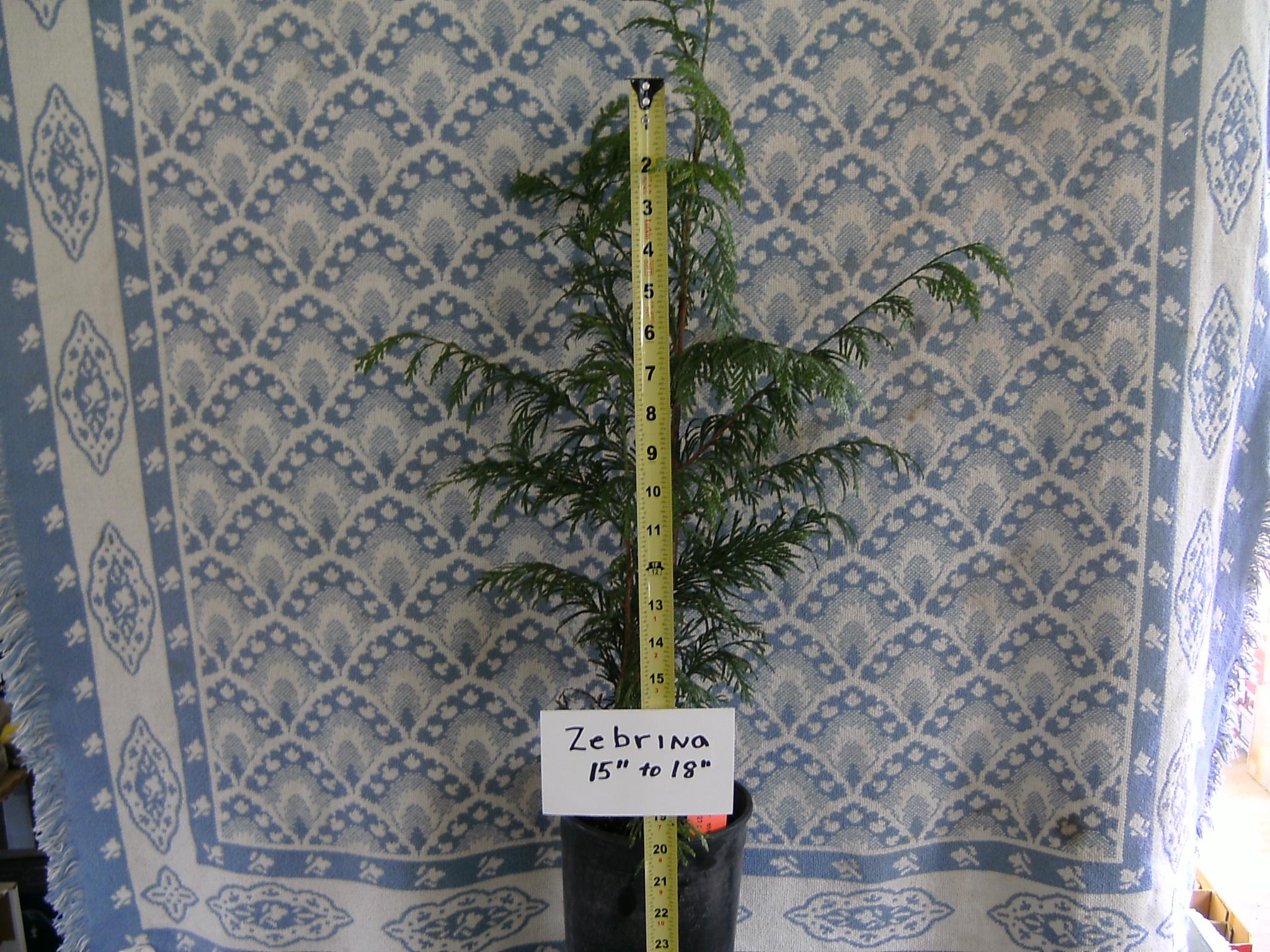 Our 15-18 inch tall Zebrina Arborvitae Liner