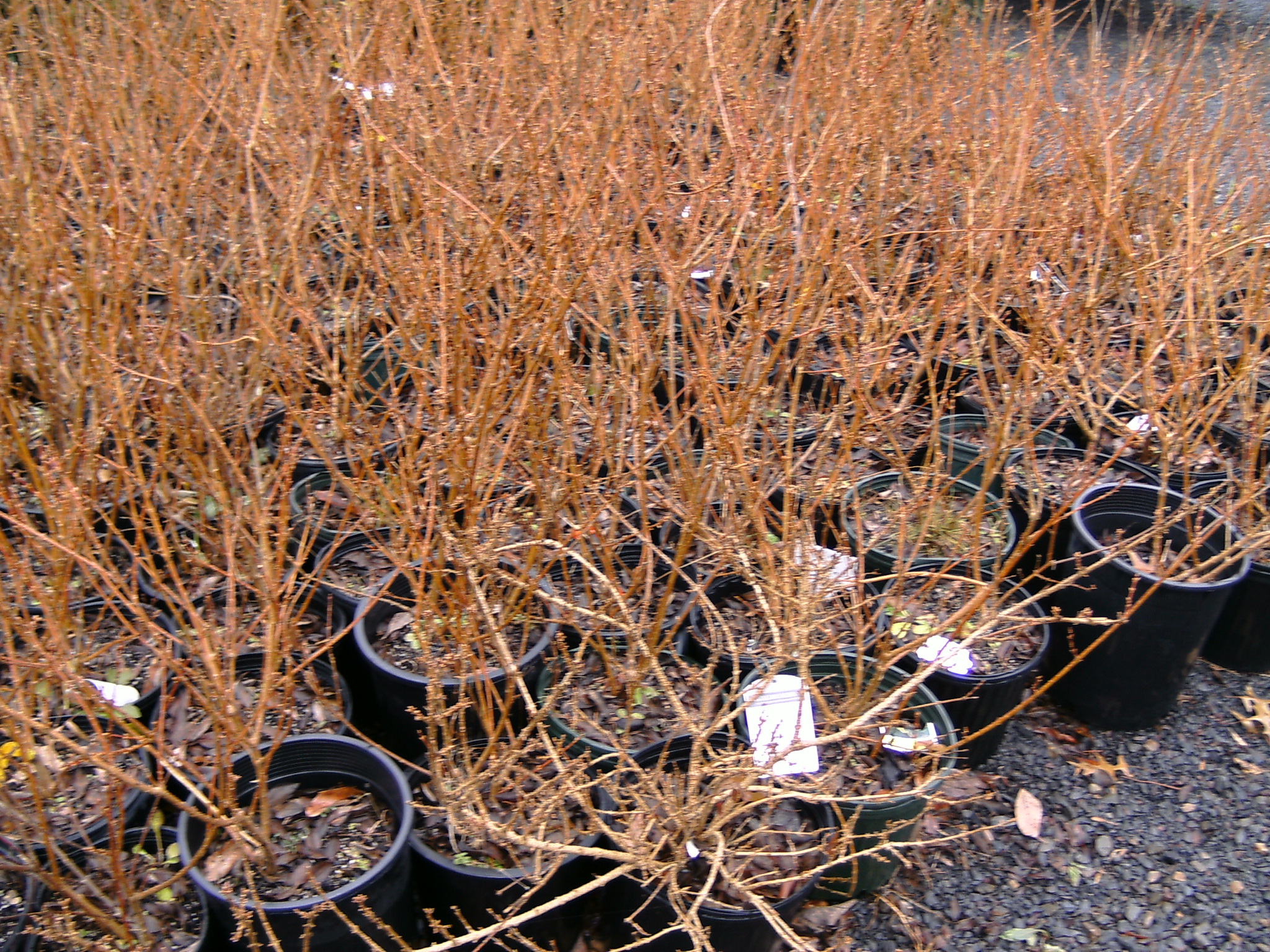 Our 2 Gal. Forsythia  Liners