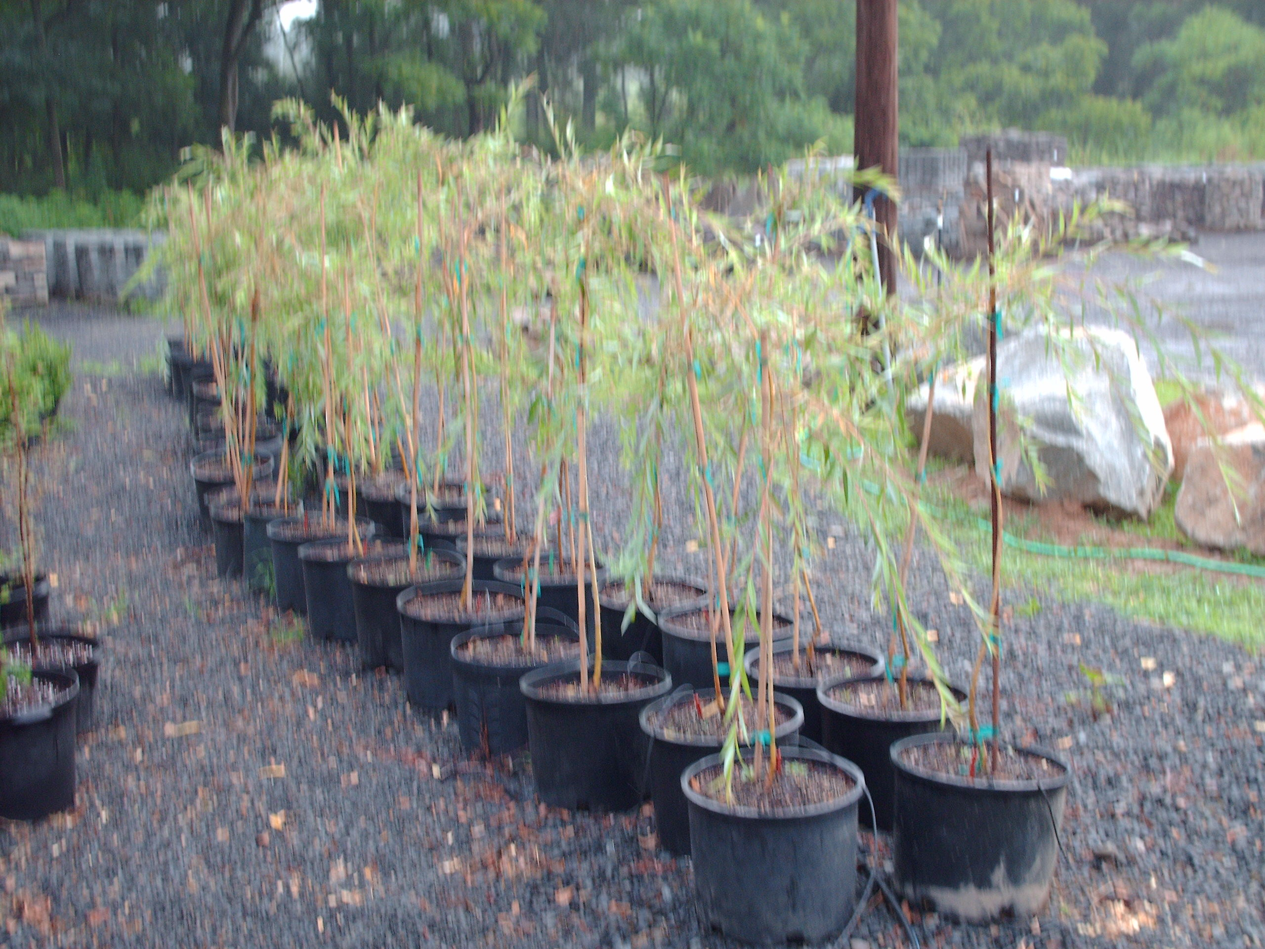 Our 3-4 ft Weeping Willow Liners