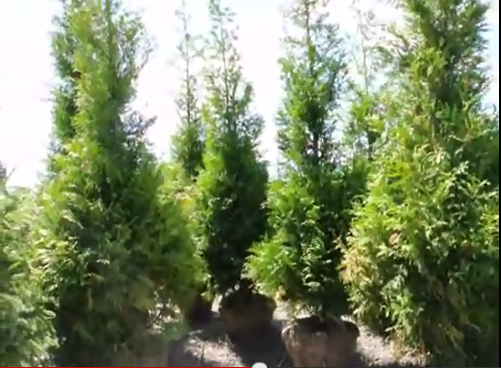 Thuja plicata 'Green Giant Arborvitae' our 10 to 12 ft tall 