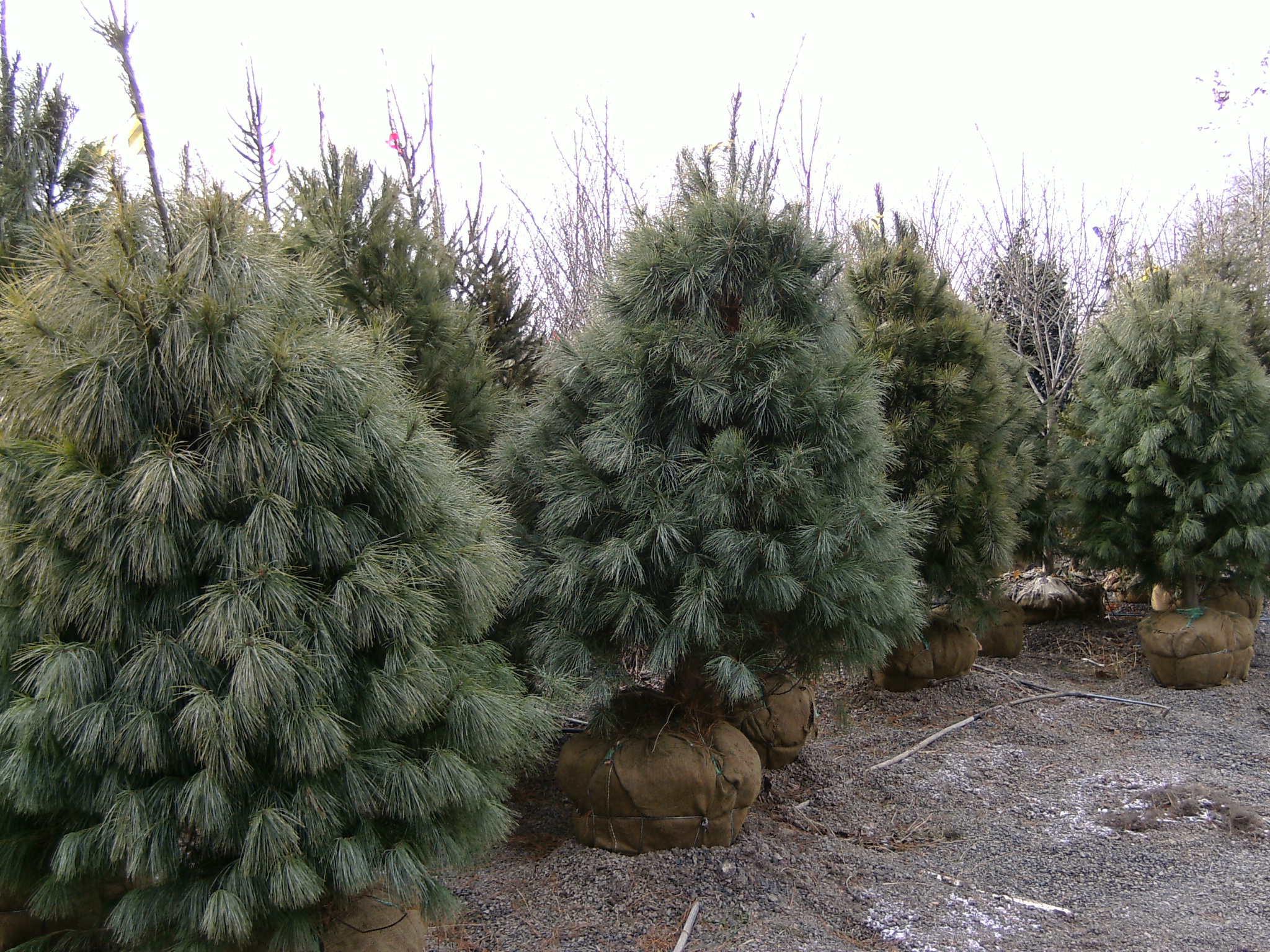 Our 6 ft White Pines.