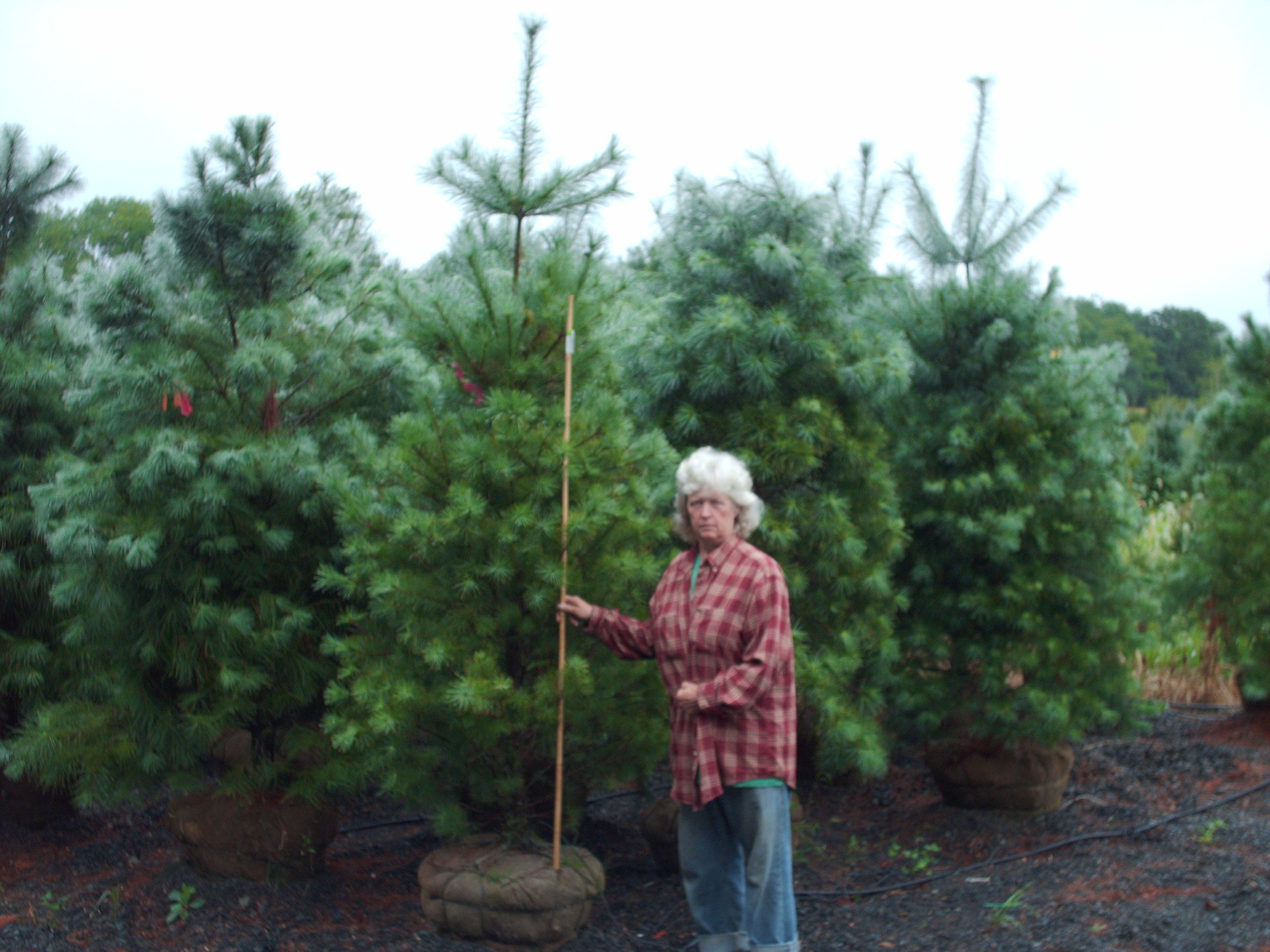 Our 7 ft White Pines.