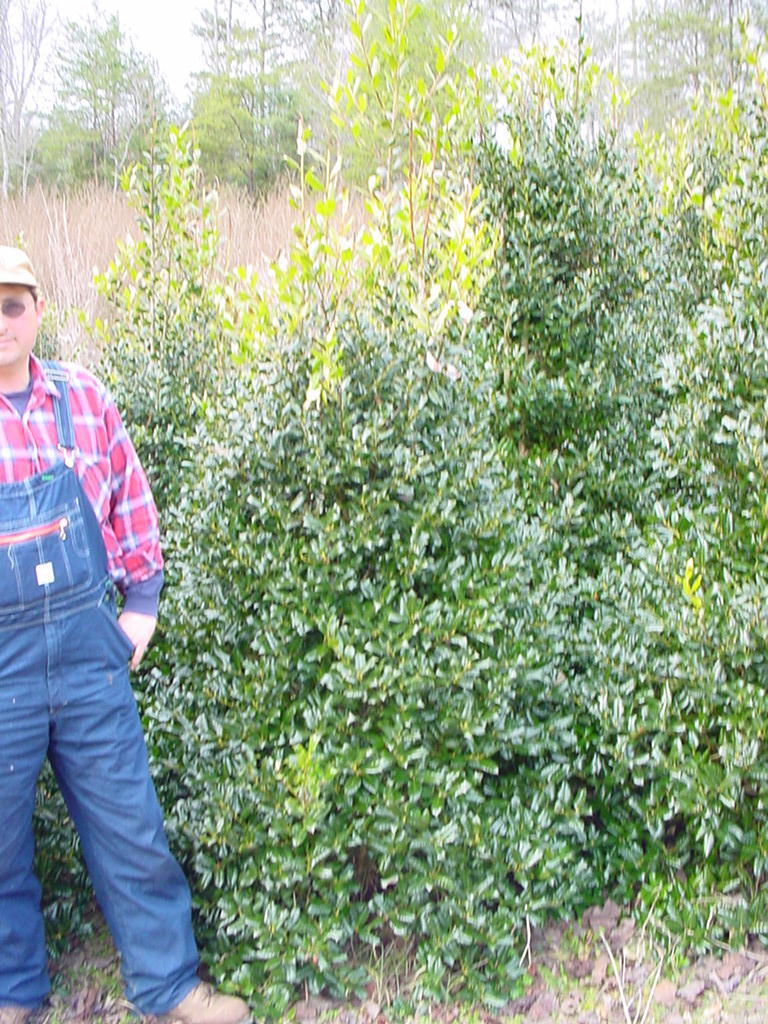 Our Ilex Nellie Stevens  Hollies 6-7' Tall