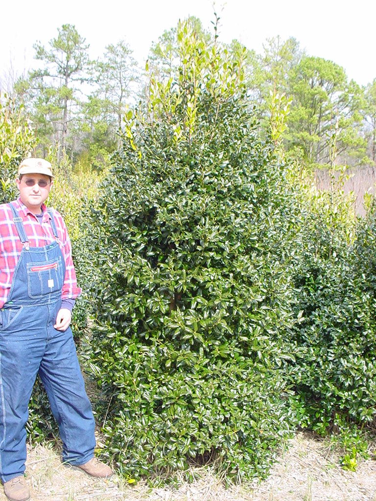 Our Ilex Nellie Stevens  Hollies 8-9' Tall